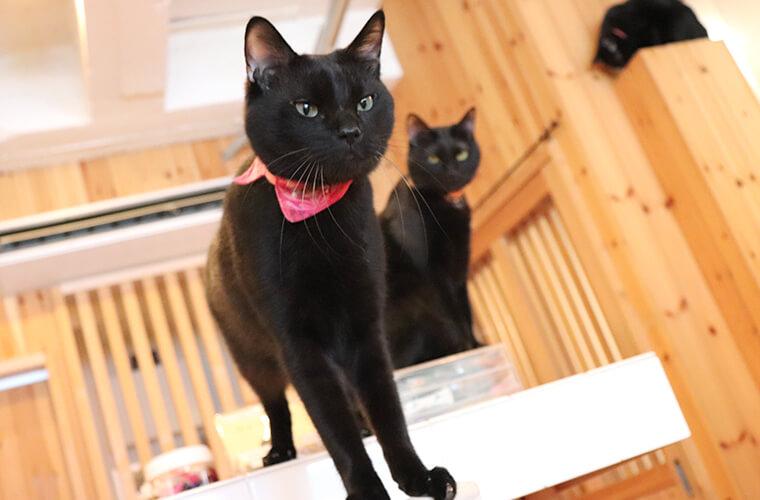 【姫路駅周辺】「ねこびやか 黒猫cm」ジジがいっぱい?!黒猫専門の猫カフェ