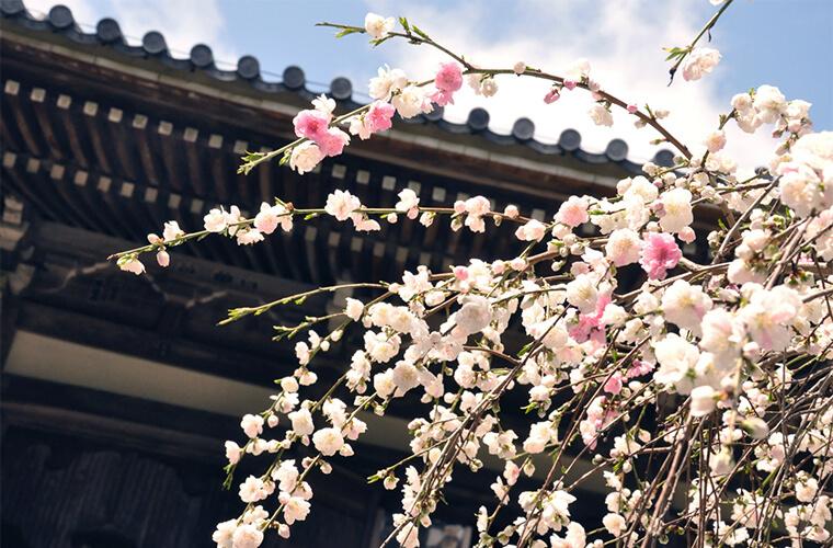 【お寺巡りの楽しみ方~春の花編~】花見をするなら穴場のお寺へ。 加古川や明石の6スポット紹介