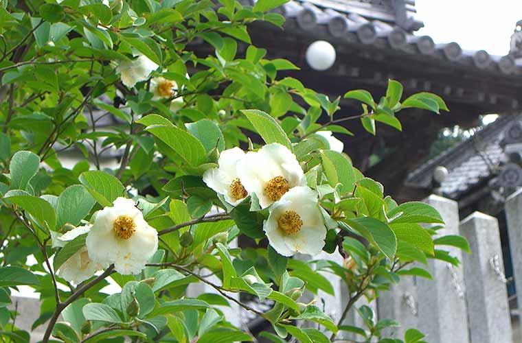【お寺巡りの楽しみ方~應聖寺編~】1日だけしか咲かない花!?純白の沙羅が咲く花の寺へ