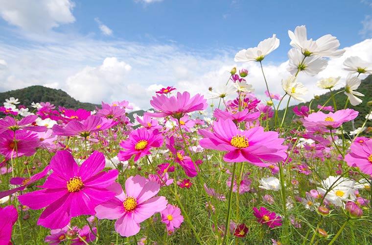 秋のおでかけにおすすめ!兵庫県のコスモス畑7選! 気になる見頃