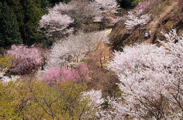 【神河】240種の桜が楽しめる!かみかわ桜の山・桜華園で「さくらまつり」開催!