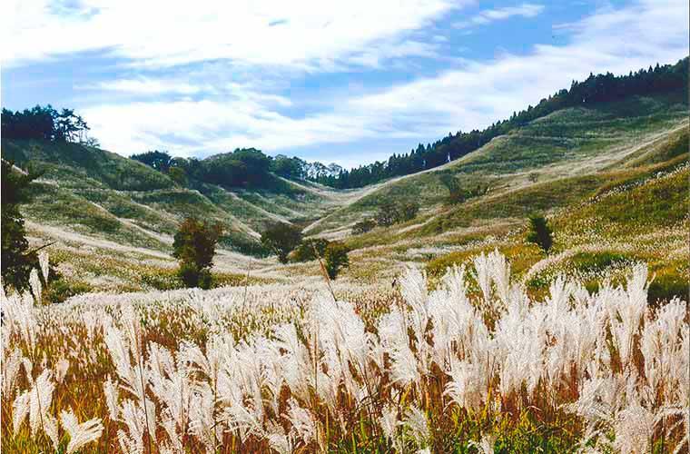 【神河町】一度は見たい秋の絶景!ススキの大草原が広がる砥峰高原で「ススキまつり」開催!