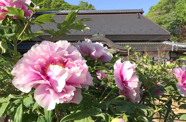 【兵庫県】花見は穴場のお寺へ。春の花絶景スポット6選!桜やボタン、クリンソウなど