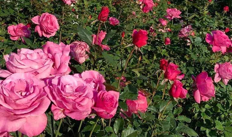 「姫路ばら園」で満開に咲き誇るバラを楽しんで♪園内のショップでグッズ販売も!