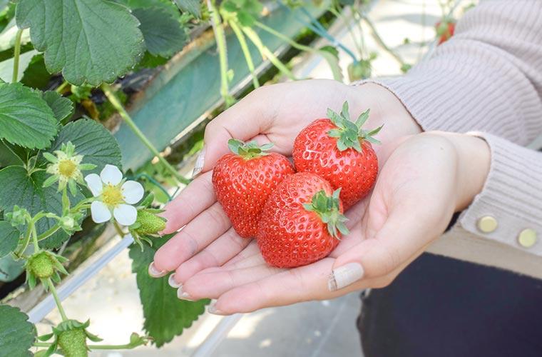 【姫路】「中山農園」で気軽にいちご狩りを体験!自家製イチゴを使ったアイスやジェラートも