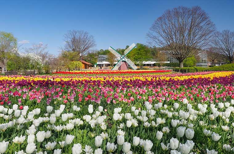 【加西】色鮮やかな16万球のチューリップが咲き誇る♪「チューリップまつり」を開催中