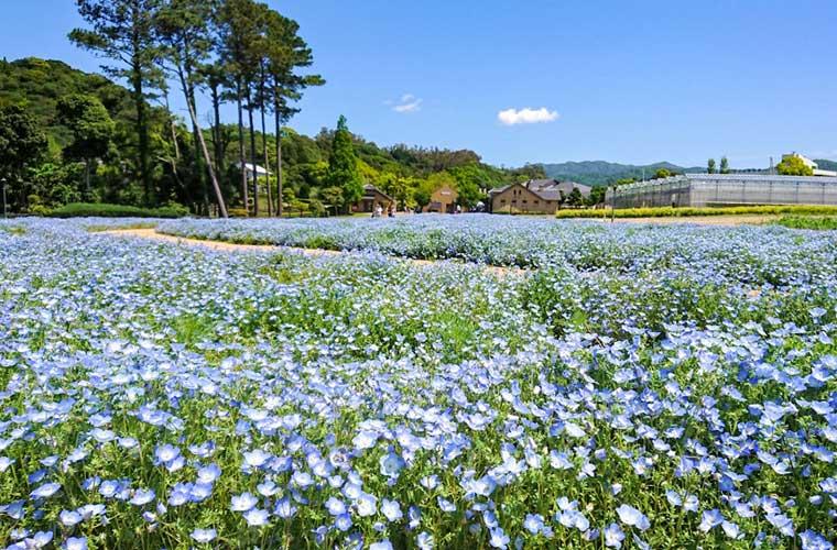 【淡路】「イングランドの丘」に10万本のネモフィラが咲き誇る♪フォトコンテストも実施!