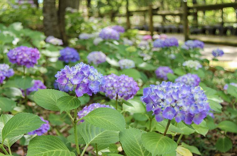 【三木】「あじさいフローラみき」で15,000株のアジサイを楽しもう♪フォトコンテストや花の寄せ植え体験も